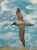 Light-Mantled Sooty Albatross in Flight  Phoebetria Palpebrata  Campbell Island  New Zealand