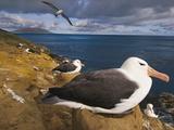 Black-Browed Albatrosses Nesting  Thalassarche Melanophrys  Saunders Island  Falkland Islands