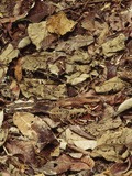 Nightjar on Nest in Leaf Litter  Caprimulgus Sp  Cocksomb Basin  Belize