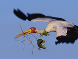 Yellow-Billed Stork Carrying Nesting Material  Mycteria Ibis  Okavango Delta  Botswana