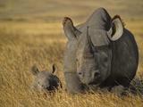 Black Rhinoceros with Young, Diceros Bicornis, Ngorongoro Conservation Area, Tanzania Papier Photo par Frans Lanting