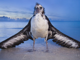 Waterlogged Laysan Albatross Juvenile  Phoebastria Immutabilis  Midway Atoll  Hawaiian Leeward Is