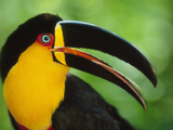 Aerial Toucan  Ramphastos Vitellinus Ariel  Iguacu National Park  Brazil
