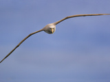 Salvin's Albatross in Flight  Thalassarche Salvini  New Zealand