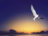 Fairy Tern at Twilight  Gygis Alba  Hawaiian Leeward Islands