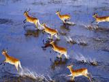 Red Lechwe Running (Aerial)  Kobus Leche Leche  Okavango Delta  Botswana