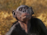 Bonobo Female  Pan Paniscus  Native to Congo (DRC)