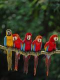 Scarlet Macaw  Ara Chloroptera  and Blue-And-Yellow Macaw  Ara Ararauna  Tambopata Nat'l Res  Peru