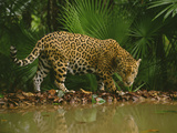 Jaguar at Waterhole  Panthera Onca  Belize