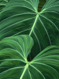 Jungle Foliage  Atlantic Forest  Brazil