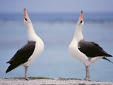 Laysan Albatrosses Courting  Phoebastria Immutabilis  Hawaiian Leeward Islands