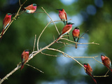 Southern Carmine Bee Eaters  Merops Nubicus Nubicoides  Okavango Delta  Botswana