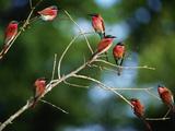 Southern Carmine Bee Eaters  Merops Nubicus Nubicoides  Okavango Delta  Botswana