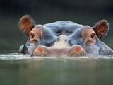 Hippopotamus Surfacing  Hippopotamus Amphibius  Garamba National Park  Congo (DRC)