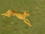 Cheetah Running  Acinonyx Jubatus  Kenya