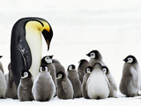 Emperor Penguin Parent Looking for Chick in Creche  Aptenodytes Forsteri  Weddell Sea  Antarctica