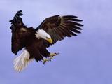 Bald Eagle Landing  Haliaeetus Leucocephalus  Southeast Alaska