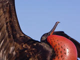 Magnificent Frigatebird Male Displaying  Fregata Magnificens  Tower Island  Galapagos Islands