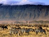 Zebras and Wildebeests Grazing  Ngorongoro Conservation Area  Tanzania