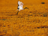 Sacred Ibis Landing in Field of Daisies  Threskiornis Aethiopicus  Namaqualand  South Africa