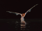 Greater Bulldog Bat Hunting  Noctilio Leporinus  Barro Colorado Island  Panama