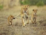 Cub Holding onto Lioness Tail, Panthera Leo, Masai Mara Reserve, Kenya Papier Photo par Frans Lanting