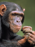 Chimpanzee Male  Pan Troglodytes  Native to Central Africa