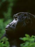 Eastern Lowland Gorilla, Gorilla Gorilla Graueri, Kahuzi Biega National Park, Congo (DRC) Papier Photo par Frans Lanting