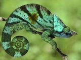Parson's Chameleon, Calumma Parsonii, Madagascar Papier Photo par Frans Lanting