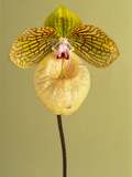 Orchid  Paphiopedilum Fanaticum  Private Collection