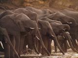 African Elephants Drinking  Loxodonta Africana  Chobe National Park  Botswana