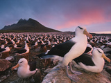 Black-Browed Albatross Colony  Thalassarche Melanophrys  Steeple Jason Islands  Falkland Islands