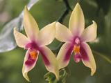 Orchids  Phalaenopsis Violacea  Sarawak  Borneo