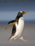 Gentoo Penguin Running  Pygoscelis Papua  Falkland Islands