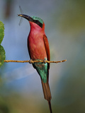 Carmine Bee-Eater with Insect  Merops Nubicus  Botswana