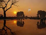 African Elephants, Loxodonta Africana, and Dove at Waterhole, Chobe National Park, Botswana Papier Photo par Frans Lanting