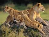 Lioness with Cubs  Panthera Leo  Masai Mara Reserve  Kenya