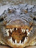 Nile Crocodile  Crocodylus Niloticus  Okavango Delta  Botswana