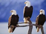 Bald Eagles, Haliaeetus Leucocephalus, Southeast Alaska Papier Photo par Frans Lanting