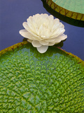 Giant Water Lily  Victoria Regia  Pantanal  Brazil