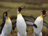 King Penguins Fighting  Aptenodytes Patagonicus  Falkland Islands