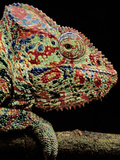 Oustalet's Chameleon  Furcifer Oustaleti  Madagascar