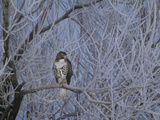 Red-Tailed Hawk in Frosted Tree  Buteo Jamaicensis  Klamath Basin Nat Wildlife Refuge  California