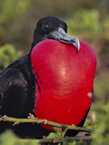 Magnificent Frigate Bird Male  Fregata Magnificens  Galapagos Islands