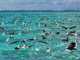 Laysan Albatross Juveniles on Lagoon  Phoebastria Immutabilis  Midway Atoll  Hawaiian Leeward Is