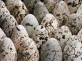 Common Murre Eggs  Uria Aalge  Western Foundation of Vertebrate Zoology  Los Angeles  California