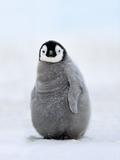 Emperor Penguin Chick, Aptenodytes Forsteri, Antarctica Papier Photo par Frans Lanting