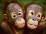 Young Bornean Orangutans Embracing, Pongo Pygmaeus, Sepilok Reserve, Sabah, Borneo Papier Photo par Frans Lanting