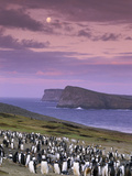 Gentoo Penguin Colony at Twilight  Pygoscelis Papua  Falkland Islands