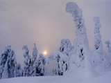 Spruces in Snow  Picea Obovata  Finland